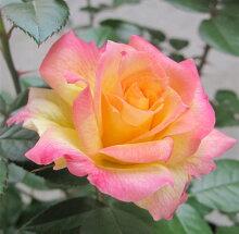 バラ苗アルページュ国産大苗7号角鉢四季咲き複色系(ローズなかしま)