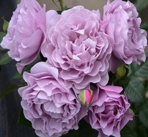 バラ苗 エターナル 国産大苗7号角鉢 四季咲き 紫系(ローズなかしま)