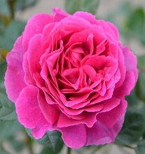 バラ苗レジーナ国産大苗7号角鉢四季咲きピンク系(ローズなかしま)