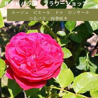 【バラ苗】ルージュピエールドゥロンサール(大苗)6号鉢