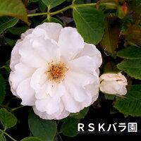 【バラ苗】プリンセスオブウェールズ(大苗)6号鉢