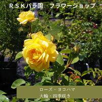 【バラ苗】ローズヨコハマ(大苗)6号鉢
