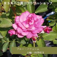 【バラ苗】ブルー・パフューム(大苗)6号鉢