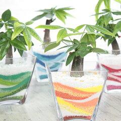 観葉植物 『カラーサンド パキラ』【観葉植物 パキラ カラーサンド 寄せ植え インテリアグリーン】