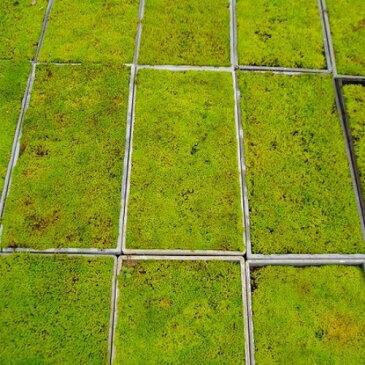 スナゴケ (砂苔) マット 58cm×28cm 【10枚セット】 グランドカバー 苔庭 テラリウム