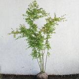 イロハモミジ 株立ち 樹高1.5〜1.8m前後(根鉢含まず) 単品