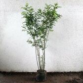 シマトネリコ株立ち樹高1.5m前後(根鉢含まず)