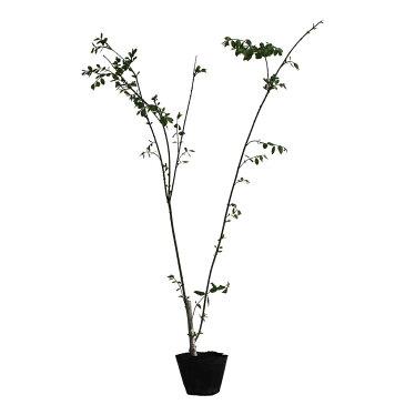コマユミ 樹高80〜100cm前後 3ポット 落葉 紅葉 盆栽 庭木