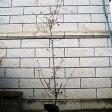 ハナカイドウ樹高1.8〜2.0m前後(根鉢含まず)