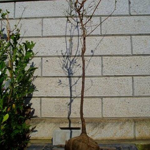 柿 次郎 (ジロウ) 樹高1.8〜2.0m前後(根鉢含まず) 単品