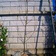リンゴアルプス乙女樹高1.8〜2.0m前後(根鉢含まず)