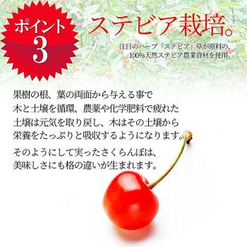 さくらんぼ佐藤錦4