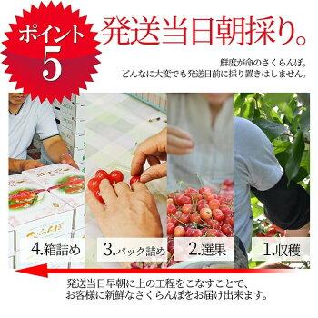 さくらんぼ佐藤錦6
