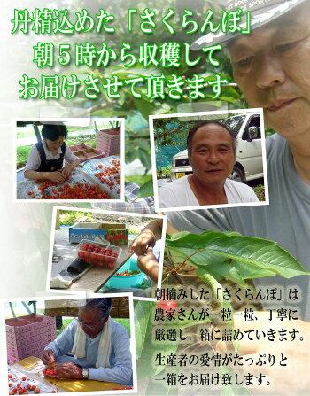 特秀さくらんぼ佐藤錦13
