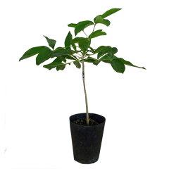 ホワイトサポテ苗 (ゴールデングローブ種)接木苗
