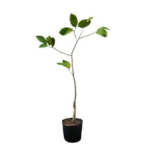 チェリモヤ苗 (ビッグシスター種)接木苗