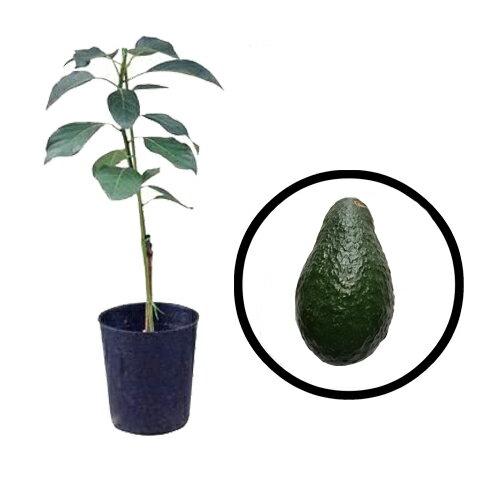 アボカド苗 ピンカートン種 接木苗