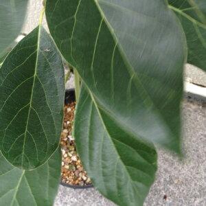 アボカド苗ピンカートン種接木苗