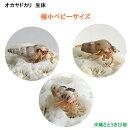 オカヤドカリ生体極小ベビーサイズ3匹セット