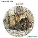 オカヤドカリ生体 Lサイズ 1匹