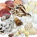 貝殻セット(貝殻40個入)