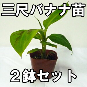 栽培しやすい矮性種バナナ苗、お得な2鉢セットです三尺バナナ苗 メリクロンポット苗 2鉢セット