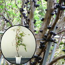 ジャボチカバ苗(四季なり種)接木苗