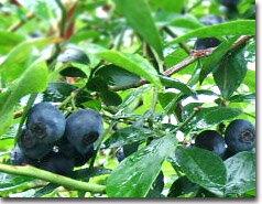 松浦農園さんの完全無農薬のブルーベリーです。収穫したてを急速冷凍し、そのままお届け♪2014...