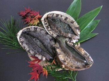 【送料無料】おススメ!ギフト・贈り物に 日本海 獲れたて新鮮!天然黒鮑(アワビ)!生きたまま発送!天然黒あわび 1kg(3枚〜5枚)