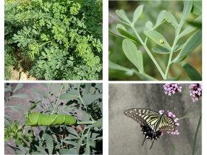 アゲハチョウの餌 アゲハソウ アゲハ蝶 飼育10POTアゲハチョウの餌 アゲハソウ アゲハ蝶 飼育10POT
