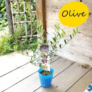 オリーブの木 ネバディロ ブランコ オリーブオリーブの木 ネバディロ ブランコ オリーブ 趣味 園芸