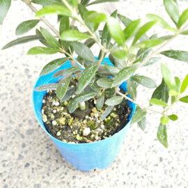 オリーブの木アルベキナオリーブ苗