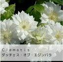 クレマチス ダッチェス・オブ・エジンバラ 100種類以上取り揃え!!クレマチス パテンス ダッチェ...