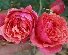 Guillot バラ苗 ギョー ラデュレ 薔薇Guillot バラ苗 ギョー ラデュレ 薔薇【大苗】【7号鉢】