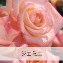 京成バラ園 【J&P】 ジェミニバラ苗 2012年予約苗 京成バラ園 【J&P】 ジェミニ【大苗】【7号...