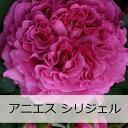 ギョー アニエスシリジェル【予約苗】【バラ苗】 ギョー アニエスシリジェル 大苗 7号鉢 ピンク...