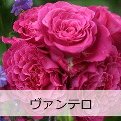 ヴァンテロ【予約苗】【バラ苗】 ギョー ヴァンテロ 大苗 7号鉢 ピンク系