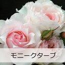 【予約苗】【バラ苗】 ギョー モニークダーヴ 大苗 7号鉢 ピンク系