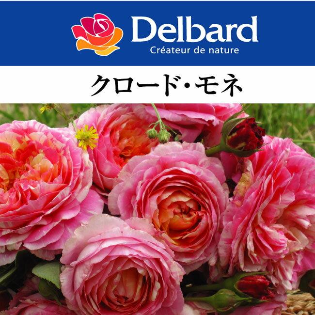 【予約苗】【バラ苗】 デルバール クロード モネ 大苗 7号鉢 ピンク系 POT