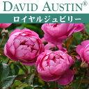 【予約苗】【バラ苗】  オースチン ロイヤル ジュビリー 大苗 7号鉢 ピンク系
