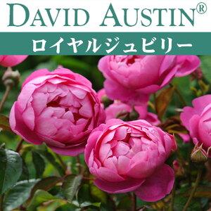オースチン ロイヤル ジュビリー【バラ苗】 オースチン ロイヤル ジュビリー 大苗 7号鉢 ピンク...