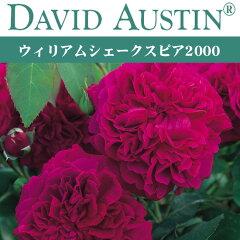 オースチン ウィリアム シェークスピア 2000【バラ苗】 予約苗 オースチン ウィリアム シェーク...