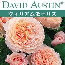 【予約苗】【バラ苗】 オースチン ウィリアム モーリス 大苗 7号鉢 ピンク系 CL