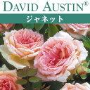 【予約苗】【バラ苗】  オースチン ジャネット 大苗 7号鉢 ピンク系