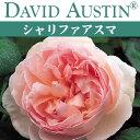 【予約苗】【バラ苗】  オースチン シャリファ アスマ 大苗 7号鉢 ピンク系