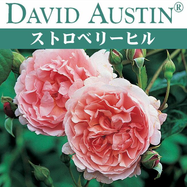 【予約苗】【バラ苗】  オースチン ストロベリー ヒル 大苗 7号鉢 ピンク系