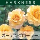 ハークネス ガーデン グローリーバラ苗 2012年予約苗 ハークネス ガーデン グローリー【大苗】...