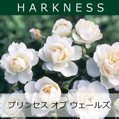 ハークネス プリンセス オブ ウェールズ【バラ苗】 予約苗 ハークネス プリンセス オブ ウェー...