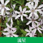 クレマチス【苗】 インテグリフォリア 流星  青・紫系 半つる性