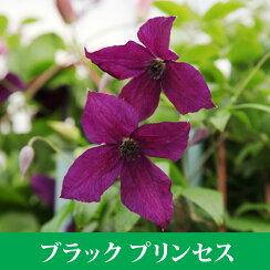 クレマチス【苗】ビチセラブラックプリンス紫系